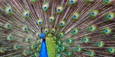 Påfågel